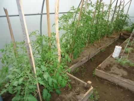 Арбузы и помидоры в одной теплице