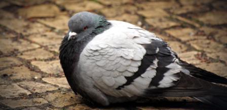 голубка